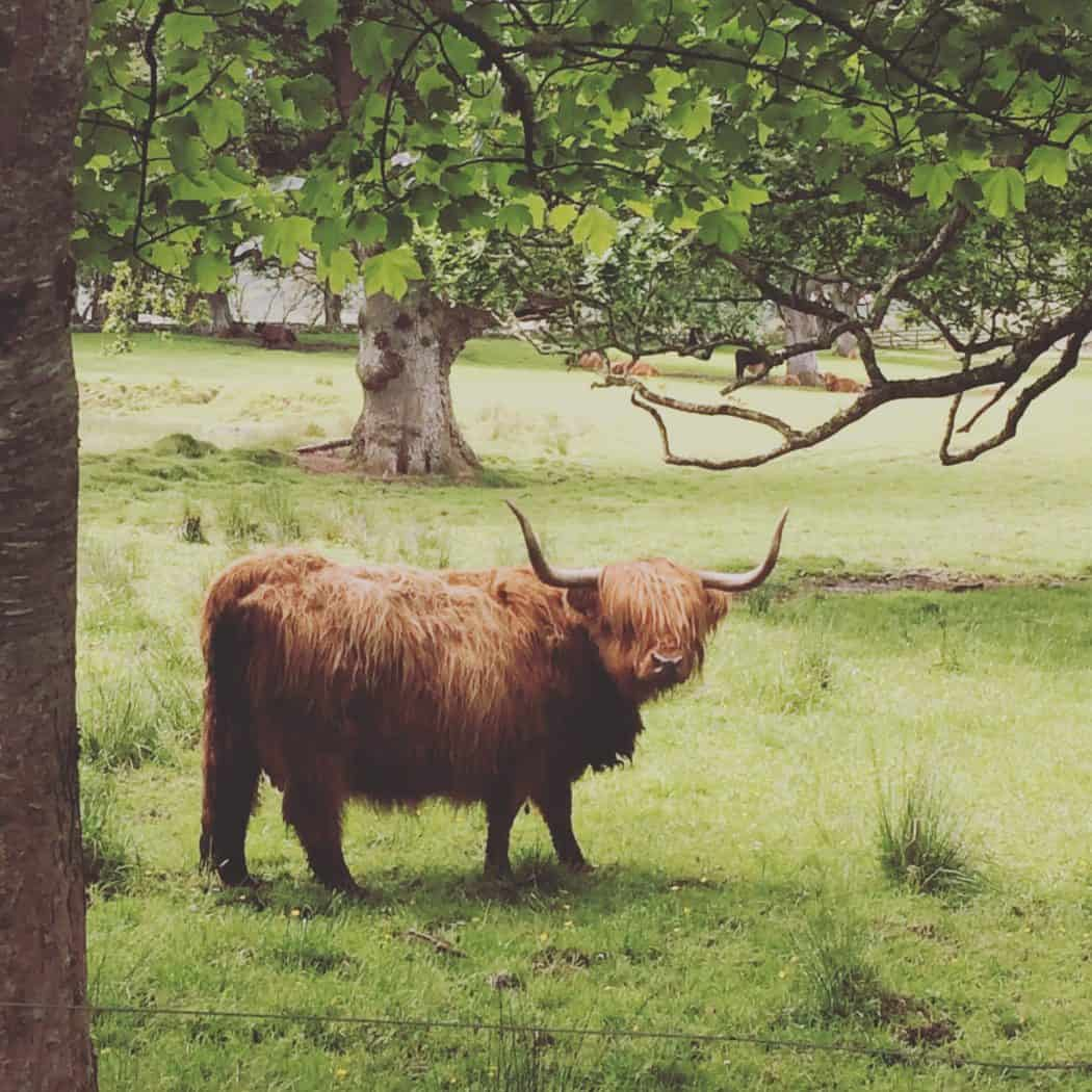 Highland Cow Applecross Scotland